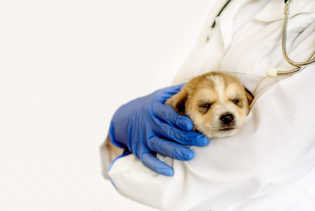 Cute two puppy dogs in the arms of veterinary healthcare professional - getting ready for their